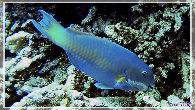 Poisson-perroquet grand bleu, Steephead parrotfish (Chlorurus microrhinos) forme mâle - Tumakohua (passe sud) - Atoll de Fakarava - Tuamotu - Polynésie française
