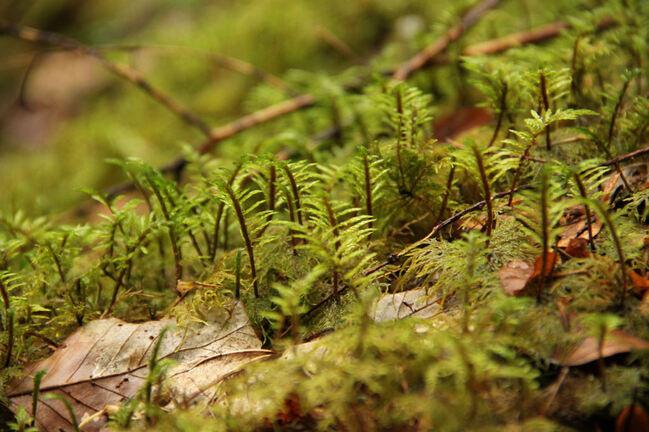 Au bord du chemin... mousses et lichens