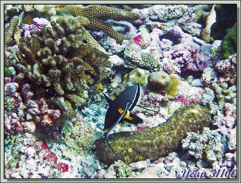 Nason à éperons orange (Naso lituratus) - Passe d'Avatoru - Atoll de Rangiroa - Tuamotu - Polynésie française
