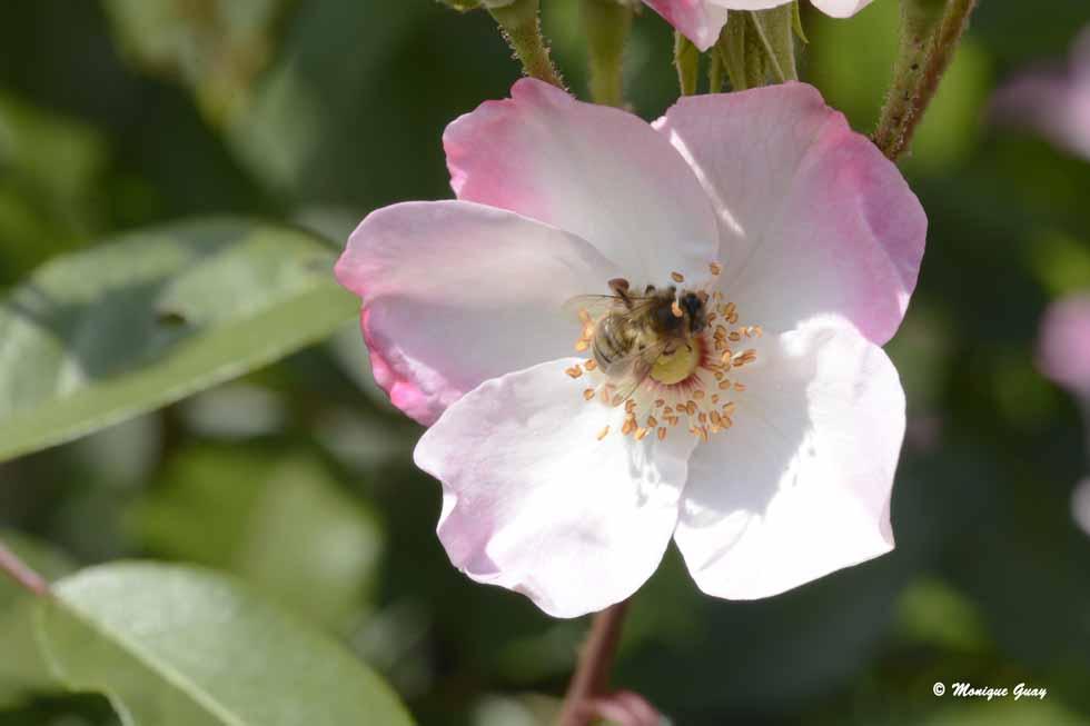 Parfois abeille, parfois mouche