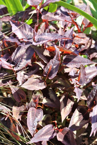 Polygonum microcephala 'Red Dragon'