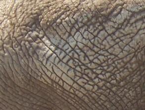 peau-elephant.jpg
