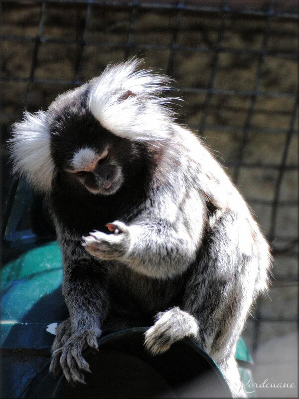 Photo de Ouistiti à Toupets Blancs - Zoo de la Palmyre