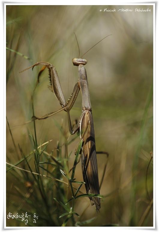 Mantis religiosa immature - Mante religieuse - forme brune