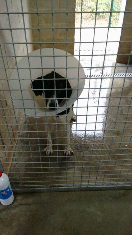 KORA en danger de mort , attaquée par les autres chiens / Wedelie Bernard