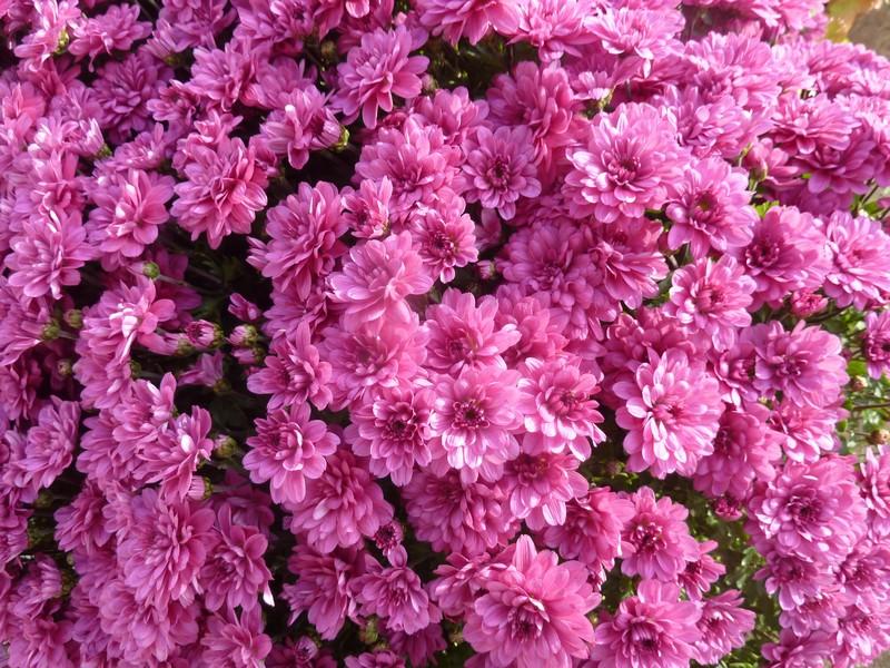 chrysanthèmes ...