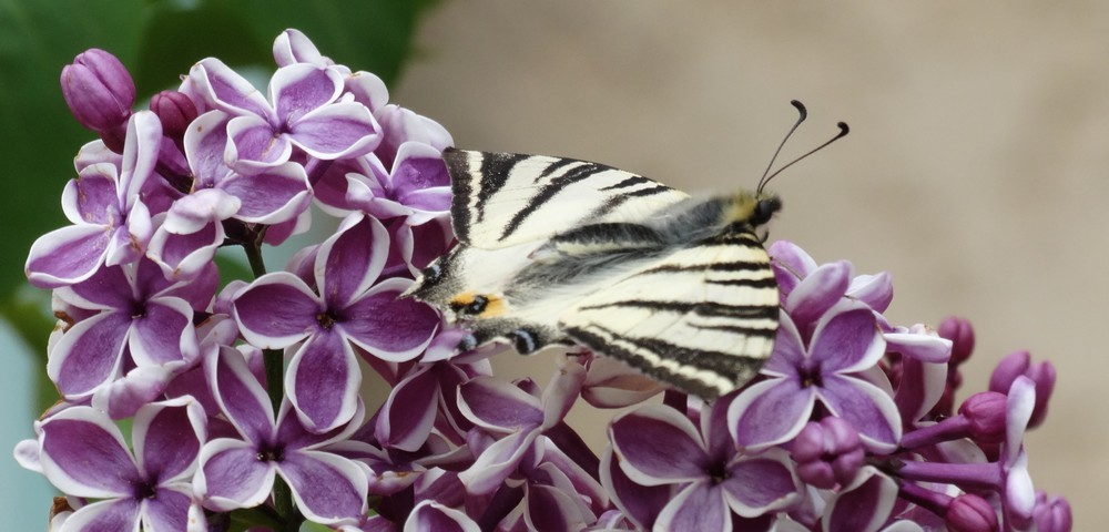 Papillon et lilas...