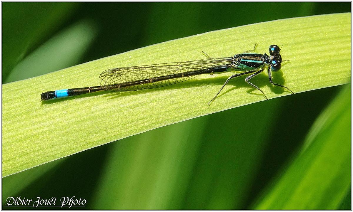 Agrion élégant (10) - Ischnura elegans
