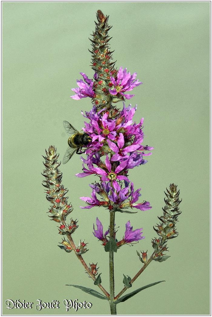 Salicaire Commune (1) - Lythrum salicaria