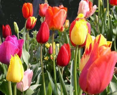 tulipes jardin collège lutterbach