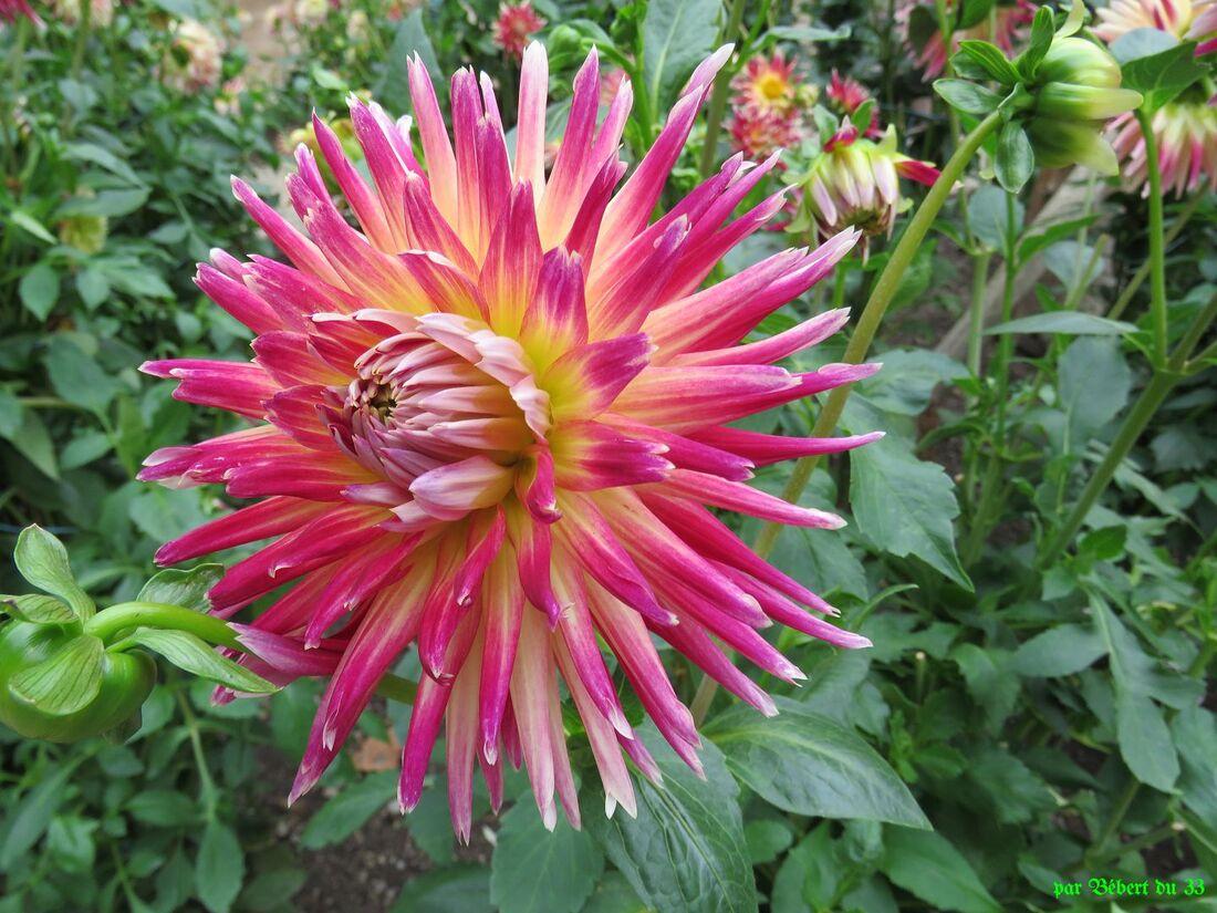 des fleurs de dahlias