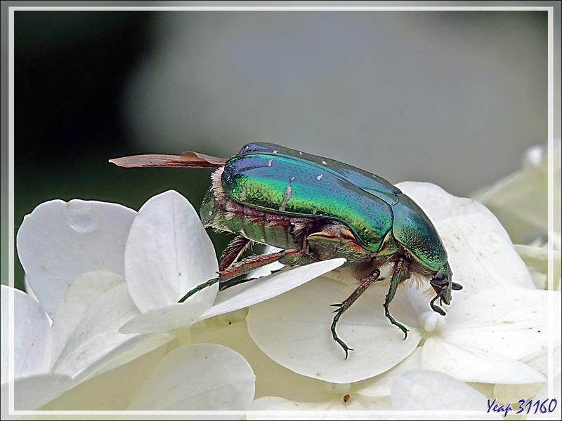 Cétoine dorée, Hanneton des roses, Green rose chafer (Cetonia aurata) - Lartigau - Milhas - 31