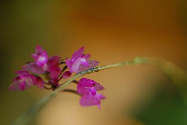 Orchidées de juillet.