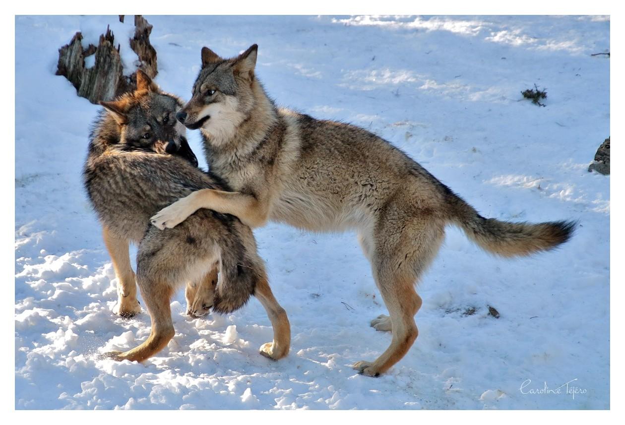 Scène de vie chez les loups