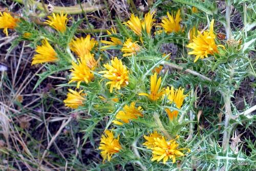 Jolies fleurs jaunes ...