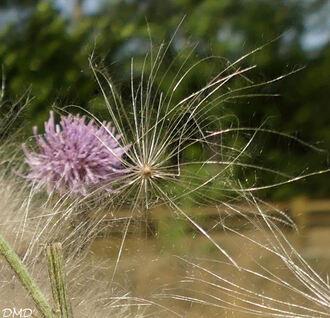 Cirsium arvense  -  cirse des champs