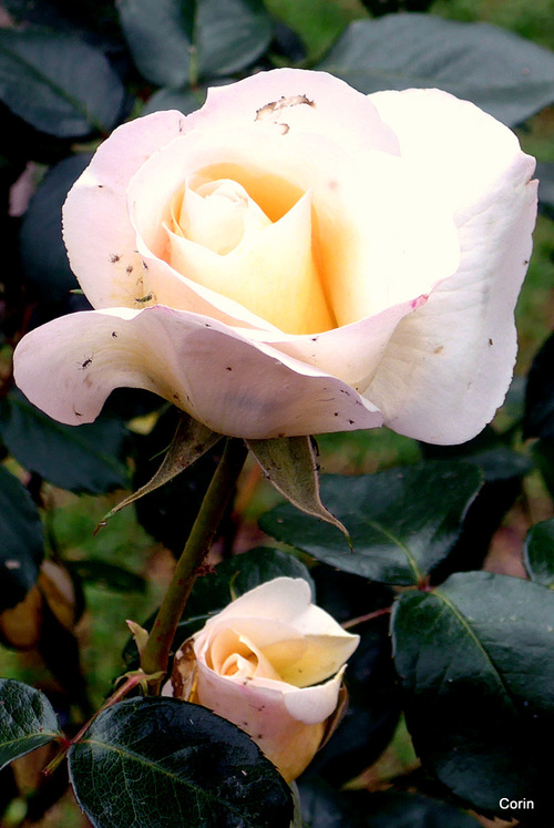 Des jolies roses