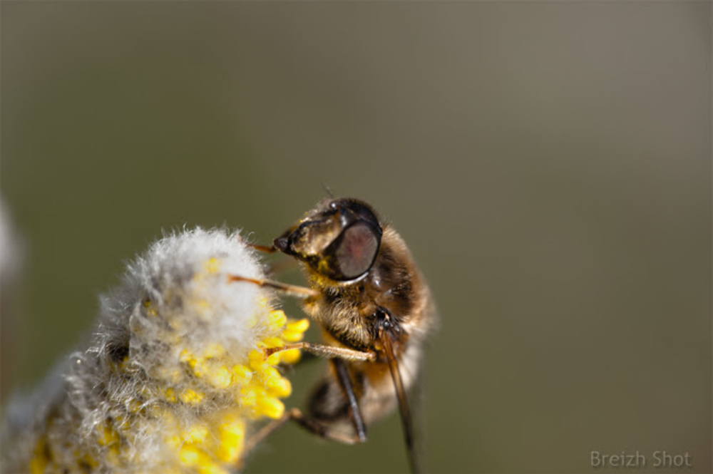 Abeille sur une fleur de saule