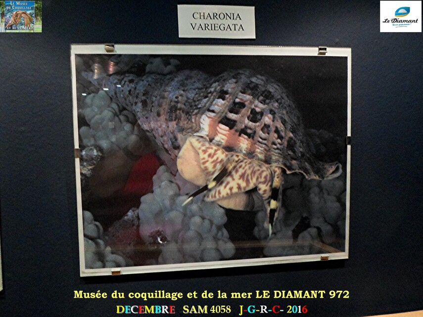 Le monde des coquillages de mer   5/5  1/    LE DIAMANT MARTINIQUE       D    02/05/2017