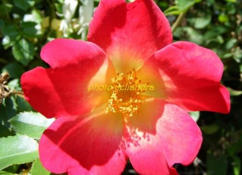 Photos: Rosa.....