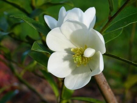 Magnolia summer Snowflake