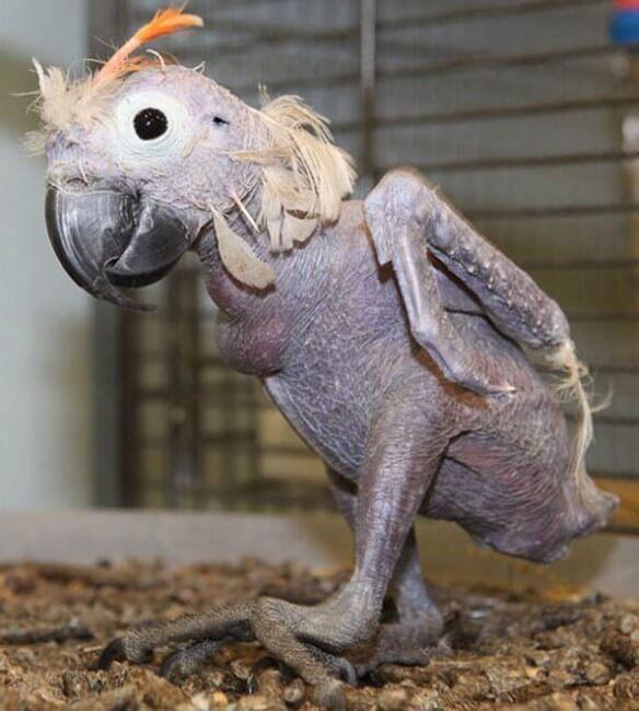 perroquet sans poils