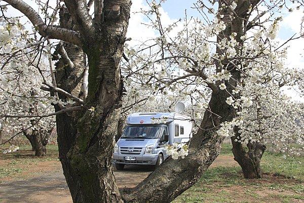Cerisiers Camping Amazigh (3)