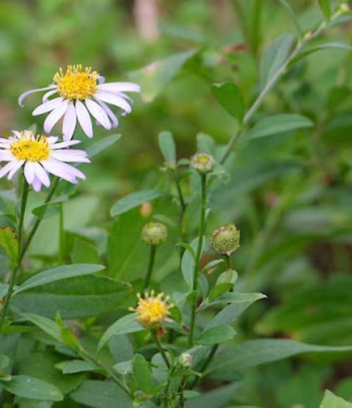 Fleurs cultivées : Kalimeris