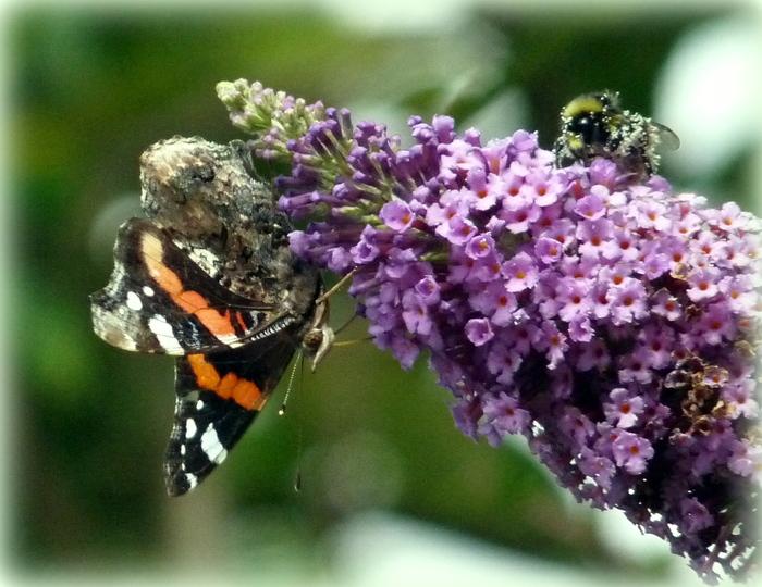 Papillon et bourdon .