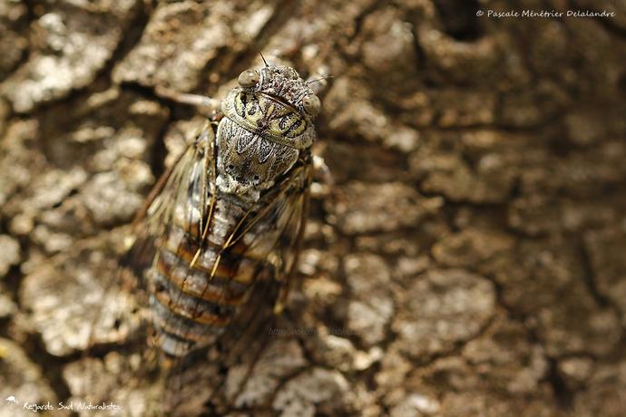 Cigale de l'Orne (Cigale du Frêne) - Tettigia orni