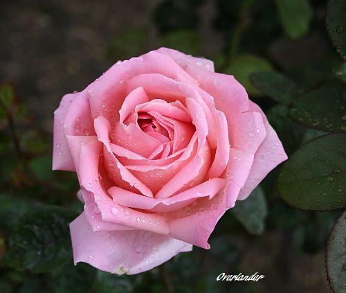 Les Roses de Warren : Overlander