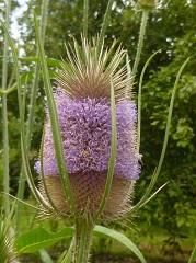 Cardère sauvage fleur