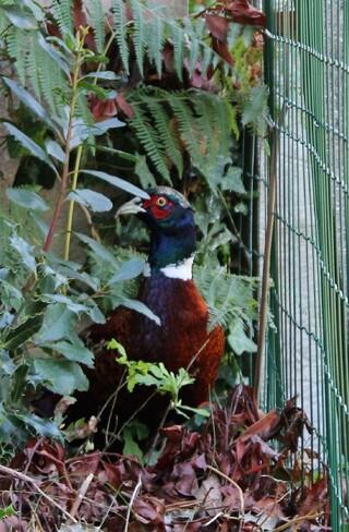 Un faisan invité dans le jardin