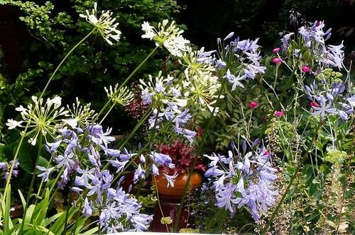 Agapanthes blanches & bleues