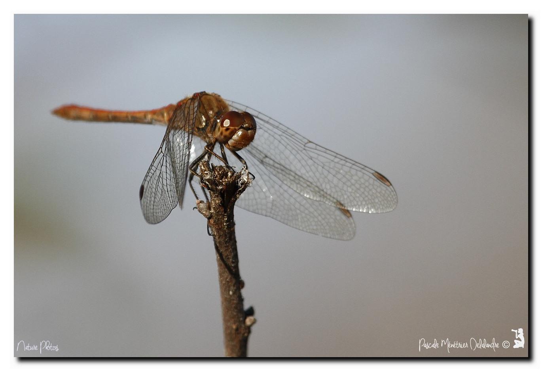 Sympetrum méridionale ♂ & ♀ - Symptrum meridional