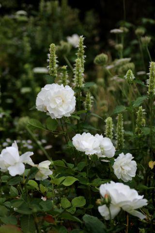 Des Compagnes pour mes Roses : Agastaches