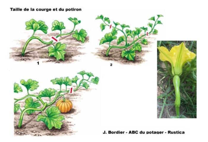 Melon, concombre, courge et potiron