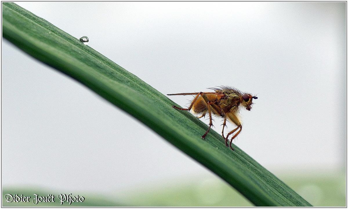Mouche Scatophage (2) - Scathophaga stercoraria