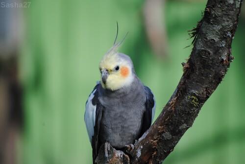 (1) La perruche calopsitte.