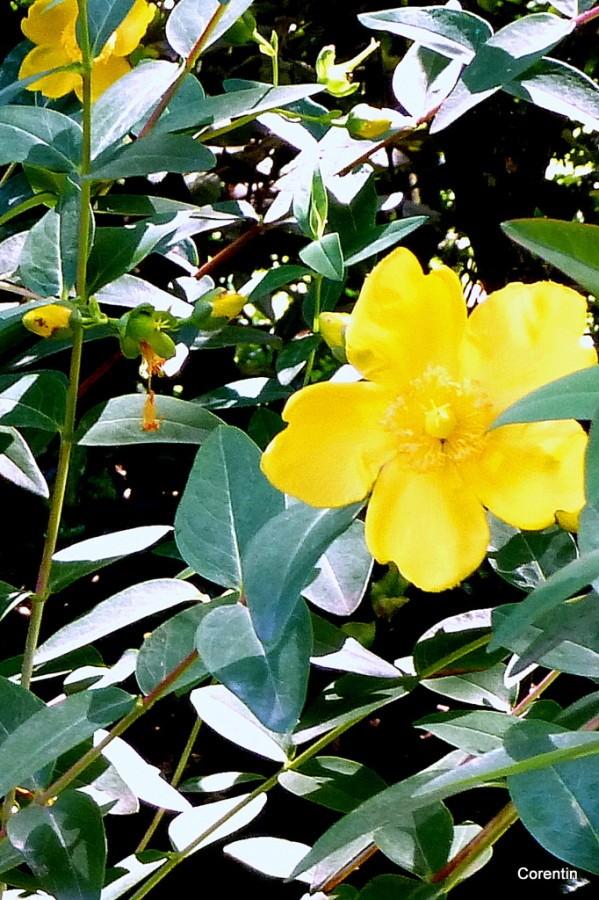 f06---Fleur-jaune.JPG