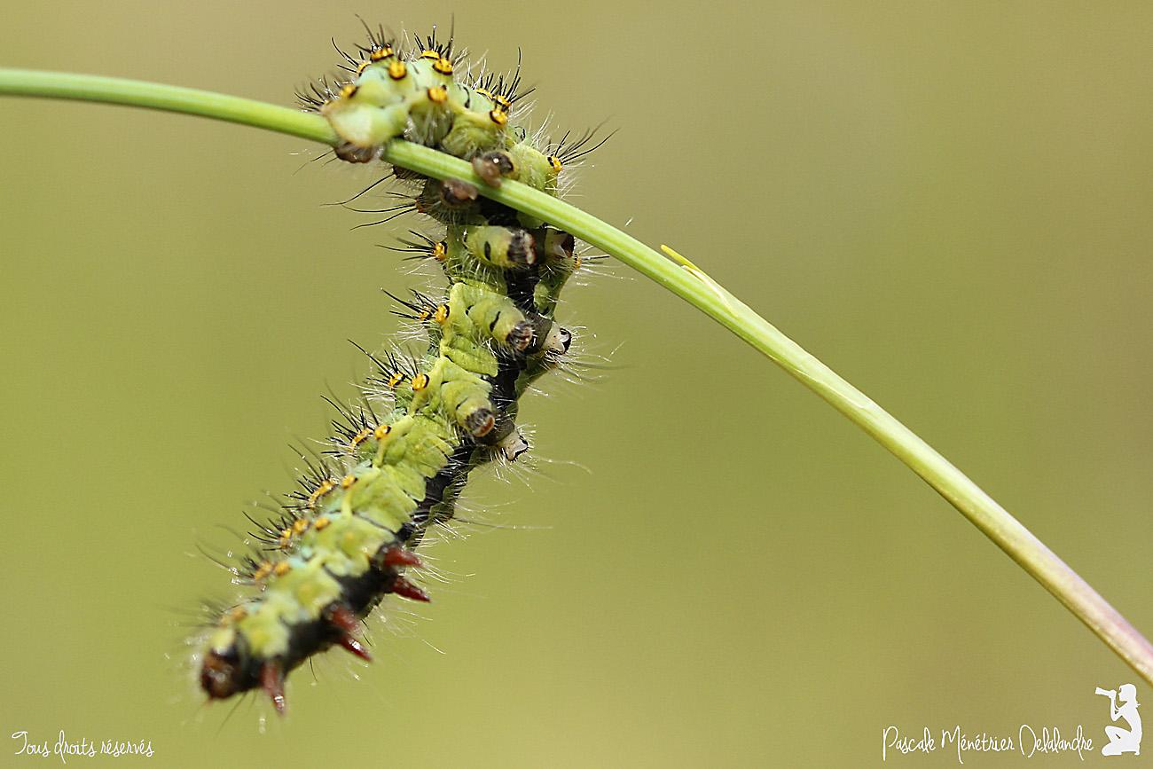 Chenille du Petit paon de nuit (Saturnia pavonia)
