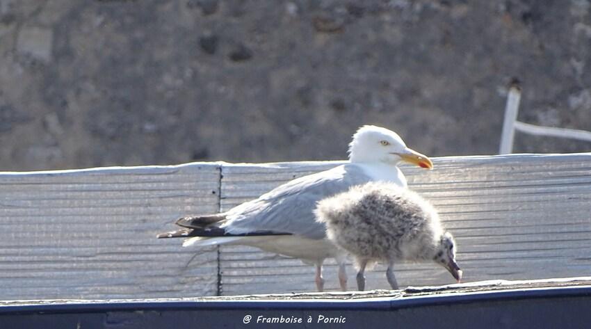 Goélands argentés et leurs bébés