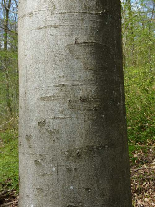 Vertus médicinales des arbres : HÊTRE