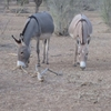 Mauritanie Sur la route de l'Espoir Visite matinale des ânes