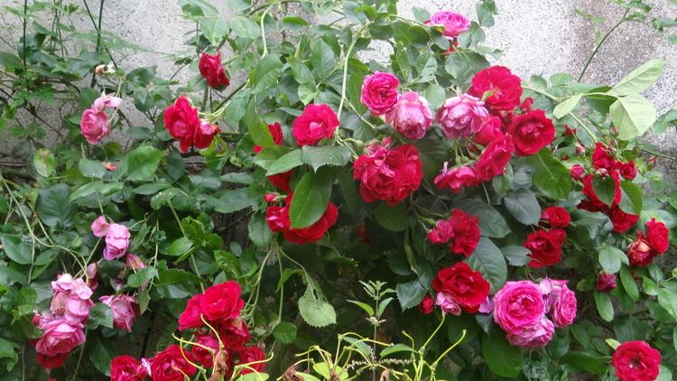 Roses de Juin et de Juillet
