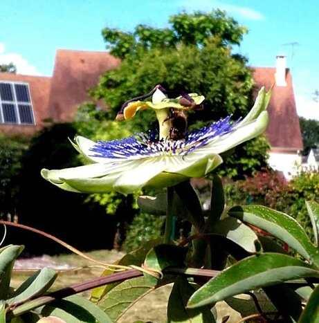 Fleur de la passion - une de mes plantes préférées.