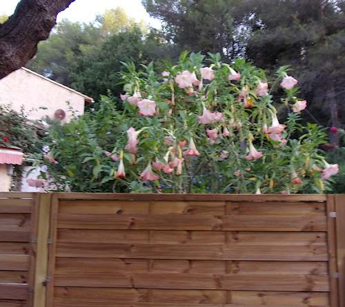 Fleurs cultivées : Brugmansias