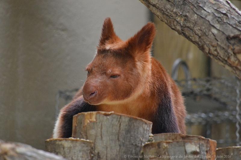 La Ménagerie du Jardin des Plantes : Des nouvelles de Sangria, femelle dendrolague