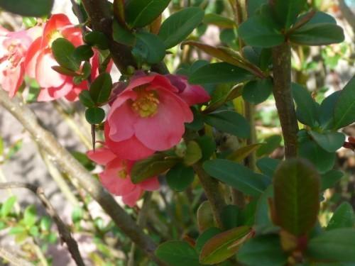 fleurs-de-printemps-11-pommier-du-japon.JPG