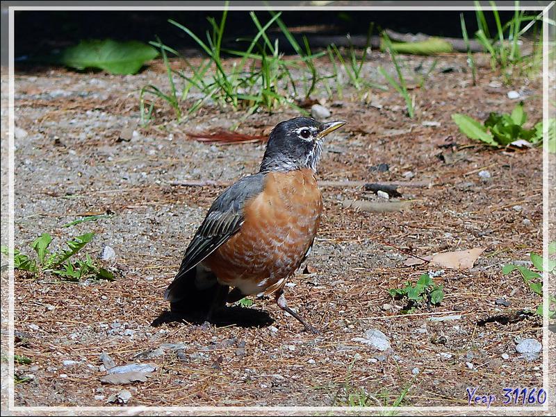 Merle d'Amérique, American Robin (Turdus migratorius) - Rawdon - Lanaudière - Québec - Canada